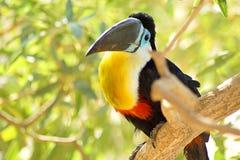 Toucan сидя на стенде в джунглях стоковое фото rf