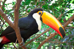 Toucan Стоковые Фото
