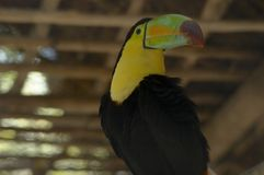 Toucan 1 Royalty Free Stock Images