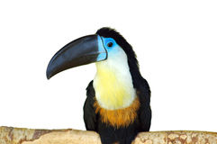 Toucan stock images