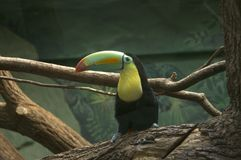 Toucan. Stock Photo