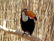 toucan Fotografia Stock