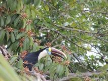 toucan arkivbilder