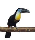 toucan 免版税图库摄影