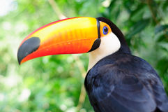 Toucan. At Bird Park in Iguassu, Brazil Royalty Free Stock Image