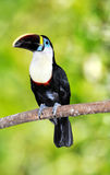 Toucan Photos stock