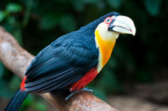 Toucan. At Bird Park in Iguassu, Brazil Stock Photos