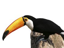 Toucan. Exotic photo with this toucan in a white background royalty free stock photos
