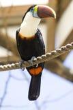 toucan royaltyfria foton