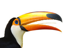 Toucan. Close up photo of isolated toucan royalty free stock photography