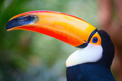 Toucan Royalty Free Stock Images