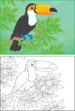 Toucan. Perched on a branch in jungle, color and black and white outline vector illustrations Stock Images