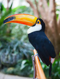 Toucan Royalty Free Stock Image