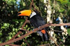 Toucan. Стоковое Изображение RF