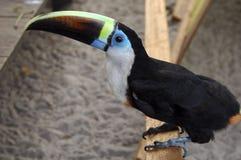 toucan Στοκ εικόνες με δικαίωμα ελεύθερης χρήσης