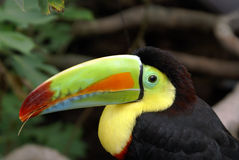 Toucan Royalty Free Stock Photos