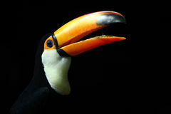 Toucan. A toucan in BeiJing zoo Royalty Free Stock Photography