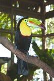 toucan Стоковая Фотография RF