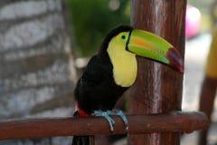 toucan开帐单的船骨 免版税库存照片