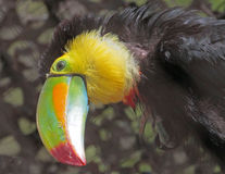 Toucan Στοκ Εικόνα