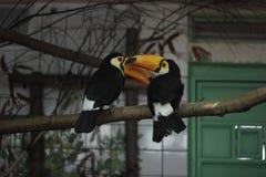 Toucan Photos stock