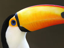 Toucan. Brazilian toucan royalty free stock images