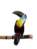 Toucan. Little toucan - beautiful colour bird Royalty Free Stock Photos
