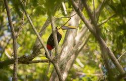 Toucan Imagens de Stock Royalty Free