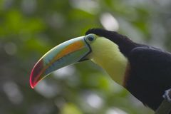 Toucan Stockfotos