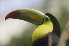 Toucan. Chestnut mandibled Toucan royalty free stock photo