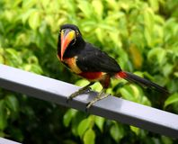 Toucan Foto de archivo libre de regalías