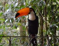 toucan 图库摄影