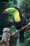 Toucan. In the natural oasis Stock Photography