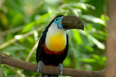 Toucan. Chanel billed toucan is a beautiful bird Royalty Free Stock Photography