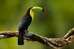 toucan 免版税库存照片