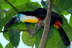 Toucan Immagine Stock