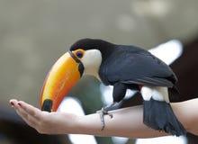 Toucan immagini stock libere da diritti