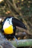 Toucan affiché par Manche Photo libre de droits