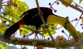 Toucan affiché par quille image stock