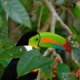 Toucan affiché par quille photos stock