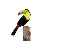 Toucan affiché par quille Image libre de droits