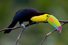 Toucan affiché par quille. Photo stock