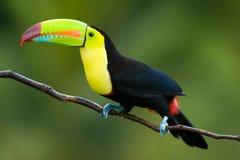 Toucan affiché par quille. Photos libres de droits