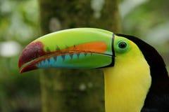 Toucan affiché par quille Photographie stock libre de droits
