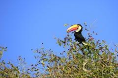 Toucan in albero Fotografia Stock Libera da Diritti