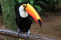 Toucan in the Amazon Jungle. Picture of a toucan in the Amazon stock image