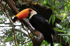 Toucan in the Amazon Jungle Royalty Free Stock Photography