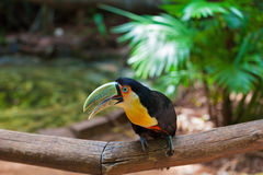 Toucan in American zoo Royalty Free Stock Photo