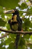 Toucan antique Image libre de droits