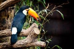 Toucan auf einem Zweig Stockbild